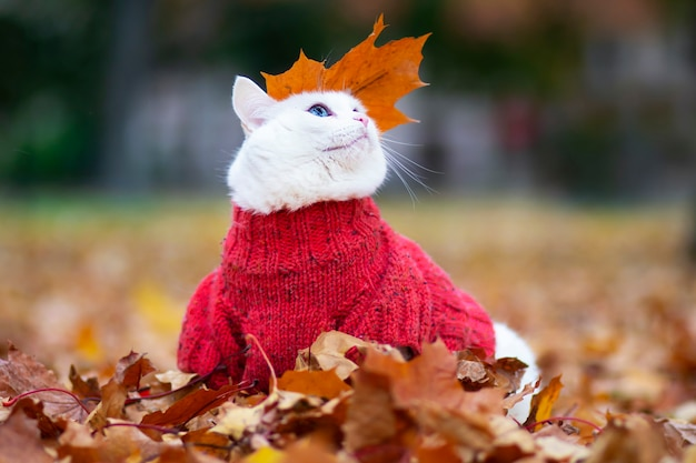 Забавный белый кот, разноцветные глаза. ангорская порода. сидит среди листвы в парке осенним днем. животное в свитере на улице. питомец играет в красно-желтом клене.