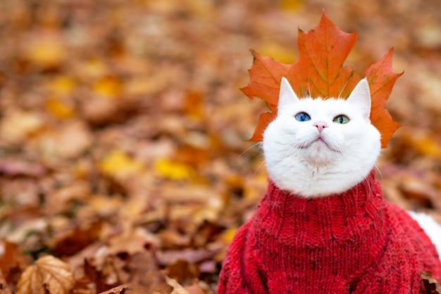 재미 있은 흰 고양이, 멀티 컬러 눈. 앙고라 품종. 가을 날 공원의 단풍에 앉는다. 거리에 스웨터에 동물. 애완 동물은 빨간색과 노란색 단풍 나무로 놀아요.
