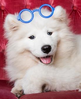 メガネの銃口のクローズアップの肖像画と面白い白いふわふわサモエド犬子犬。犬のパーティー