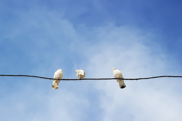 Забавные белые голуби на проводе против неба.