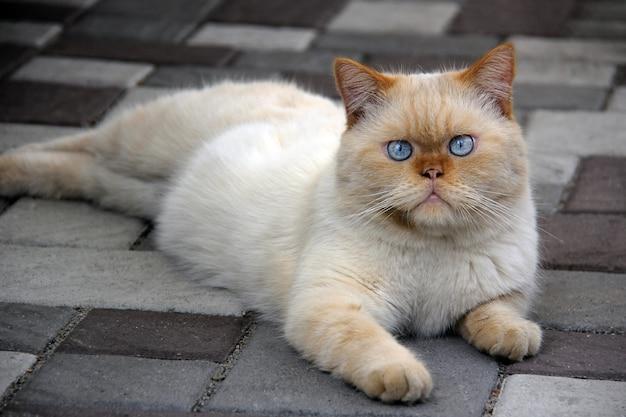Забавный бело-рыжий персидский кот с выразительными голубыми глазами лежит на каменном полу
