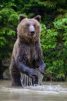 Забавный дикий взрослый бурый медведь (ursus arctos), стоящий на задних лапах в воде. опасное животное в природе. сцена дикой природы
