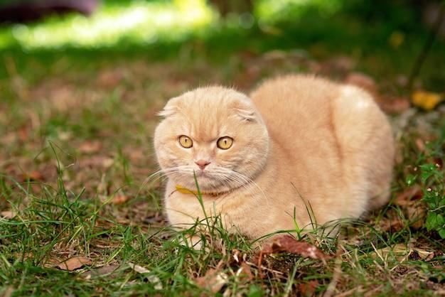 草の上の面白い黄色の短い髪のスコティッシュフォールド猫