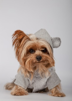 Funny yorkshire terrier in a hoodie sitting