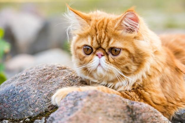 재미 있은 젊은 귀여운 빨간 페르시아 고양이 초상화 공원에서 산책