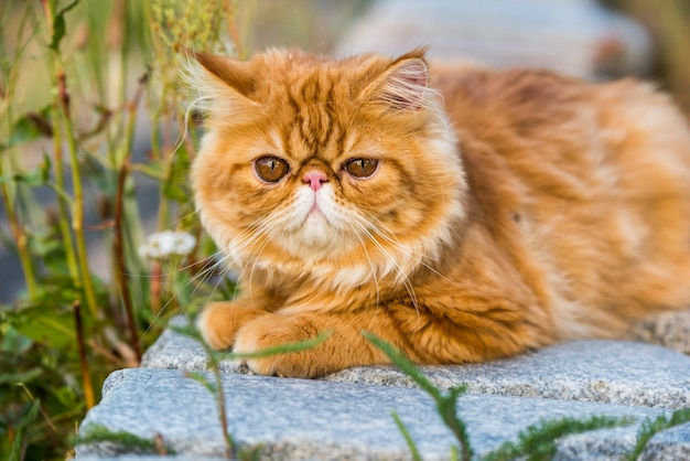 Funny young cute red persian cat portrait walking in the park