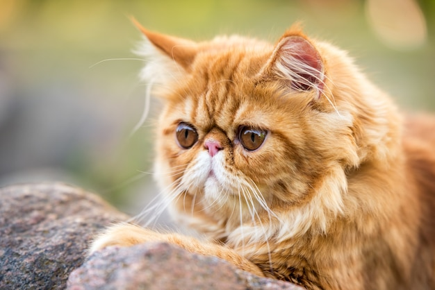 Funny young cute red persian cat portrait with a leash walking in the park.