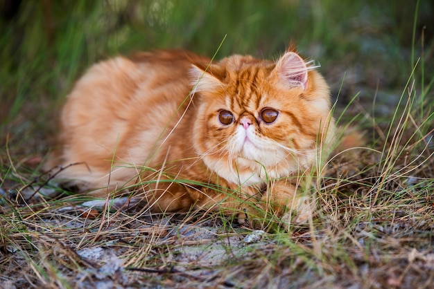 Funny young cute red persian cat with big orange round eyes is walking in forest grass.