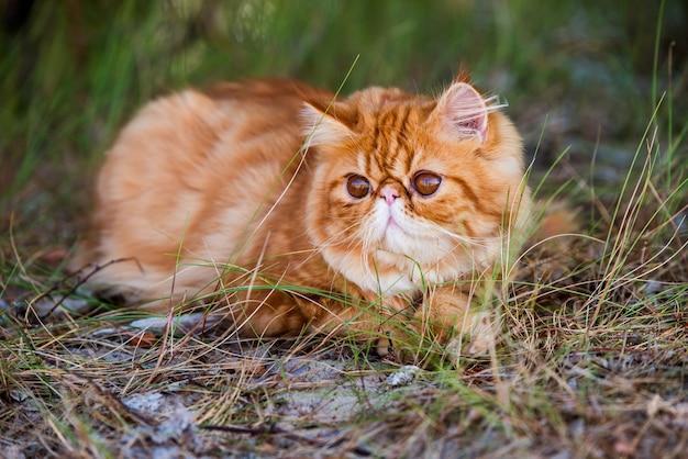 Забавный молодой милый красный персидский кот с большими оранжевыми круглыми глазами идет в лесной траве.