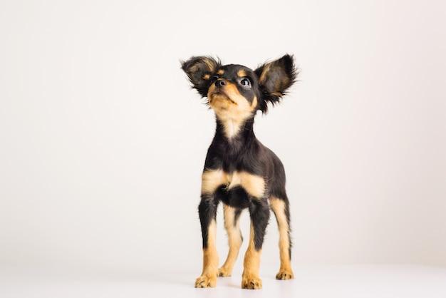 흰색 바탕에 러시아 장난감 테리어의 재미있는 어린 강아지