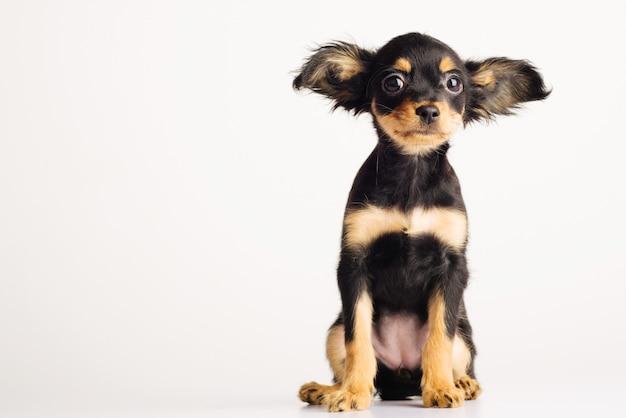 白い背景の上のロシアのおもちゃのテリアの面白い若い子犬。