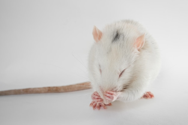 Funny young rat isolated on white. rodent pets. domesticated rat close up. rat washes its face with its paws
