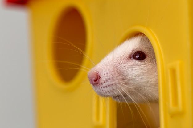 Смешные молодые белые и серые ручные любопытные мыши хомяка ребенка с блестящими глазами, глядя из ярко-желтого окна клетки. держать домашних животных друзей дома, уход и любовь к животным концепции.