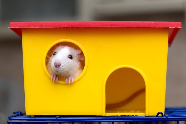Funny young white and gray tame curious mouse hamster baby with shiny eyes looking from bright yellow cage window. keeping pet friends at home, care and love to animals concept.