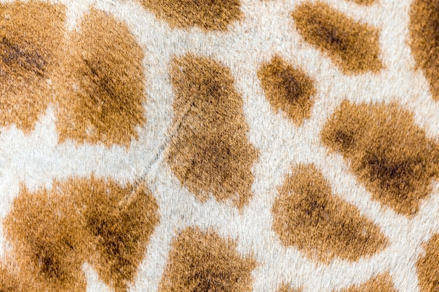 The fur of a giraffe in close-up