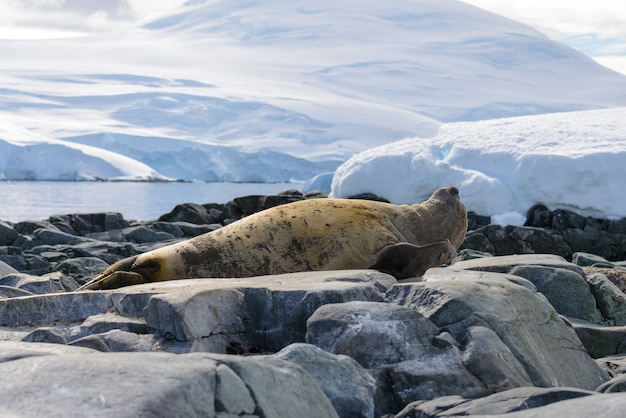 Fur seal close up