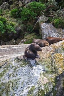 Морские котики на скале из национального парка фьордленд, новая зеландия Premium Фотографии
