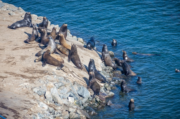 Fur seals in the usa swimming on a sunny day