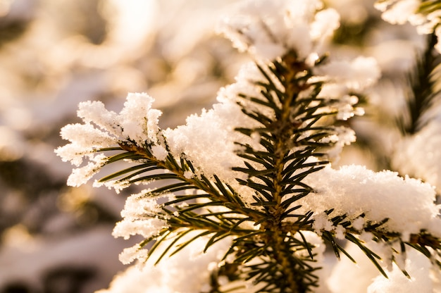A fur-tree branch in the background of a forest covered with snow, winter