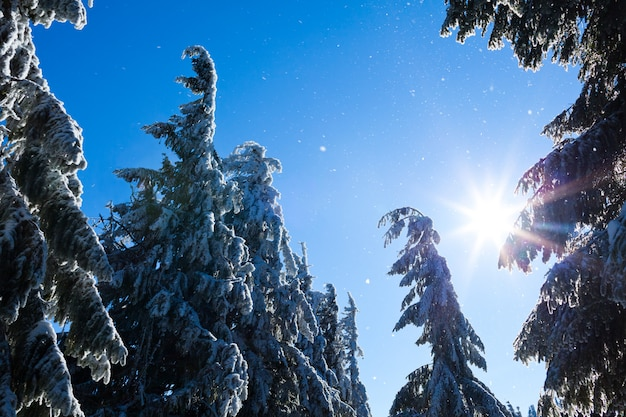 Fur trees crowns covered with snow in winter forest