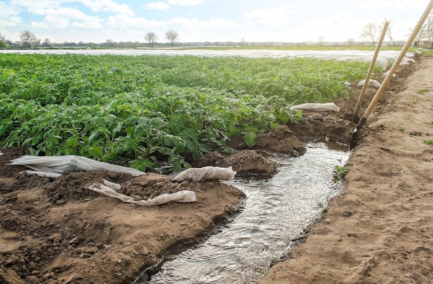 Furrow irrigation of potato plantations agriculture industry growing crops in early spring using greenhouses farming irrigation system