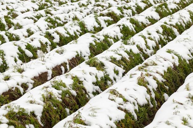作物が取り除かれていない緑の熟したニンジンが育つ農地の畝間、霜の間のクローズアップ