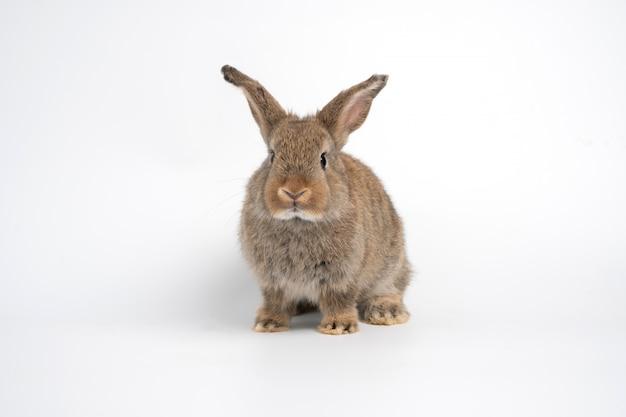 毛皮でふわふわのかわいい赤茶色のウサギの直立した耳は、白い背景で隔離のカメラで見て座っています。