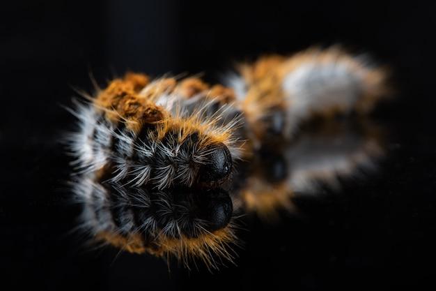 Furry centipede on black backgruond