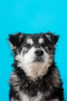 Furry dog on blue background