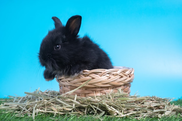 Furry and fluffy cute black rabbit is sitting in the basket on green grass. concept of rodent pet and easter.