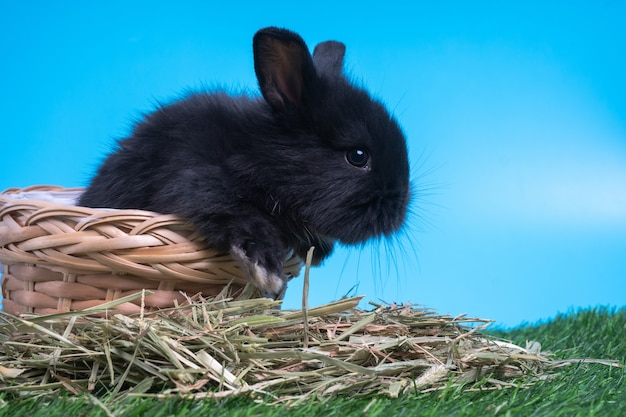 Furry and fluffy cute black rabbit is sitting in the basket on green grass.