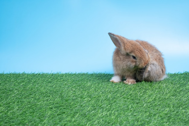 Furry and fluffy cute black rabbit is sitting and cleaning back leg on green grass and blue background.