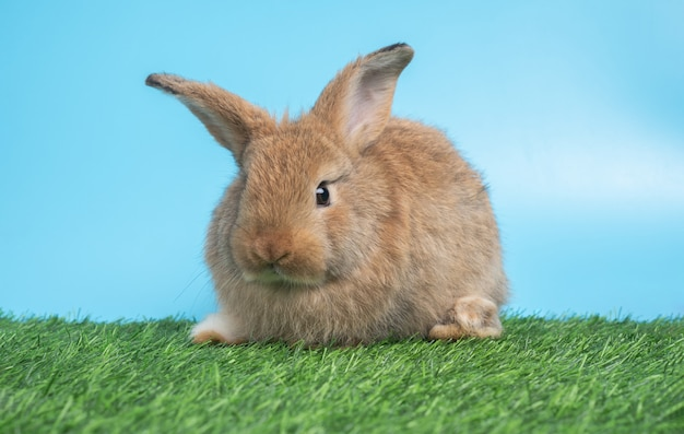 Furry and fluffy cute black rabbit is sitting on green grass and blue background.