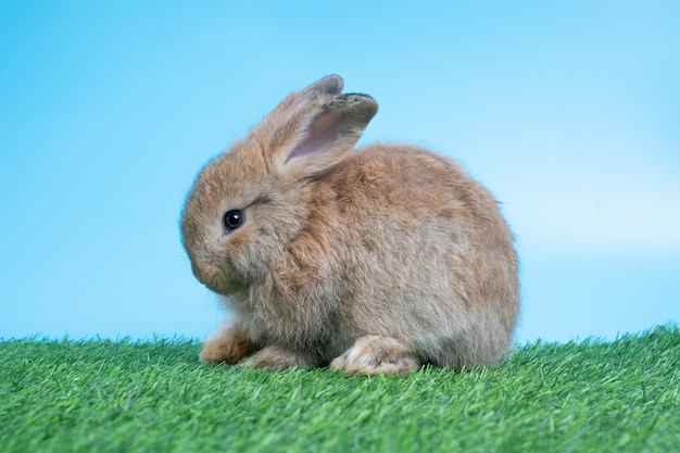 Furry and fluffy cute black rabbit is sitting on green grass