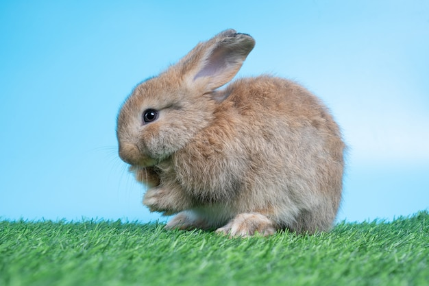 Furry and fluffy cute black rabbit is standing on two legs on green grass and blue background and cleaning the front legs.