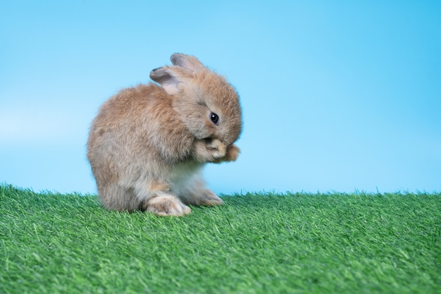 Furry and fluffy cute black rabbit is standing on two legs on green grass and blue background