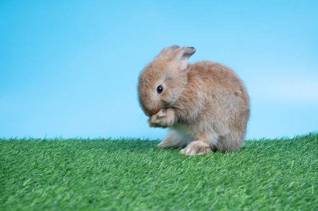 Furry and fluffy cute black rabbit is standing on two legs on green grass