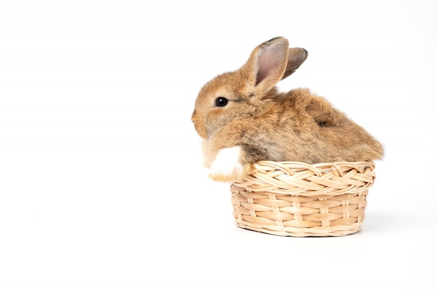 Furry and fluffy cute red brown rabbit erect ears are sitting in basket. concept of rodent pet and easter.