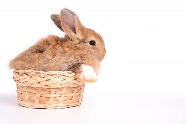 Furry and fluffy cute red brown rabbit erect ears are sitting in basket