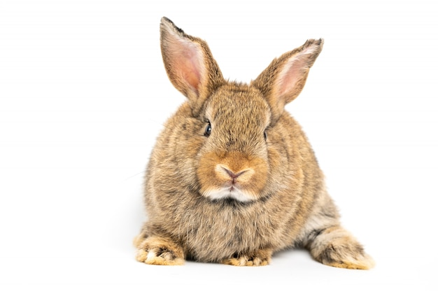 Furry and fluffy cute red brown rabbit erect ears are sitting look in the camera,
