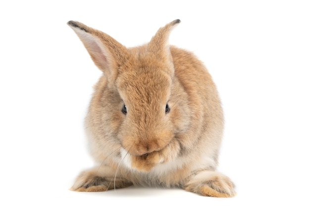 Furry and fluffy cute red brown rabbit erect ears are sitting