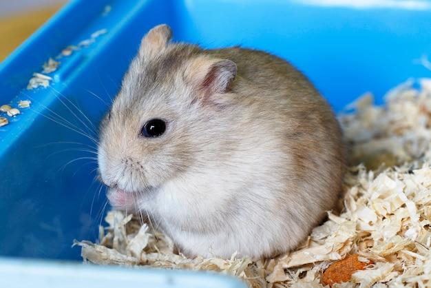 Furry hamster eatsand sits on sawdust