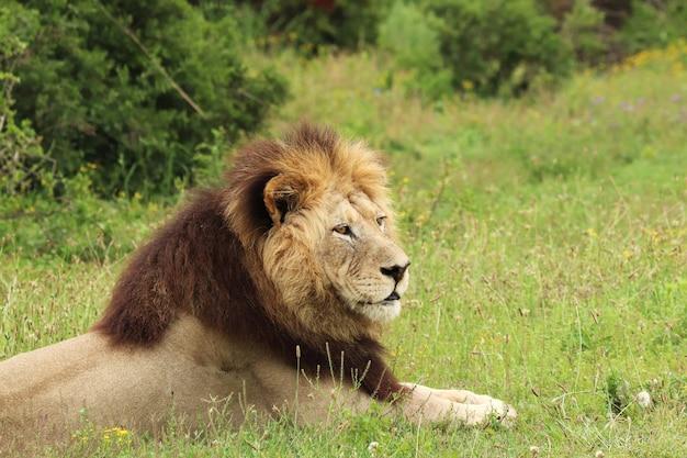Пушистый лев лежит в национальном парке аддо элефант в дневное время