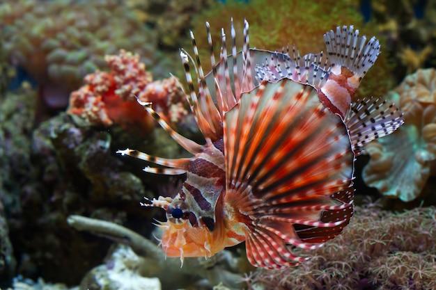 산호초에 퍼지 드워프 lionfish