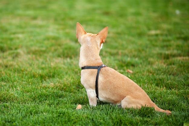 美しい犬は背面ビューを閉じます。秋の公園で散歩にチワワ犬。孤独な犬が公園に座って、飼い主の帰りを待っています。ペットの概念。犬と一緒に歩きます。 gに座っている犬