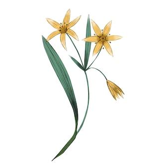 ベツレヘムの植物画のガゲアまたはスター。緑の茎に黄色い花。分離された手描きの野生植物