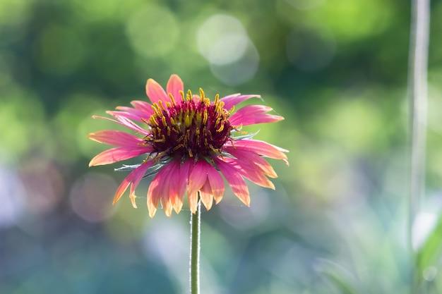 インドの公園で満開のテンニンギクの花