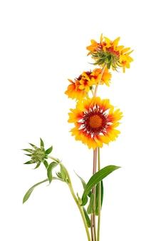 白い背景に分離されたテンニンギクの花。美しい夏の花。