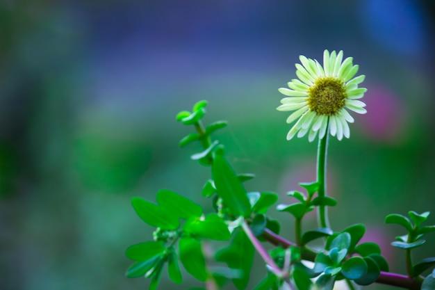 テンニンギクは、ヒマワリ科キク科の顕花植物の属です。