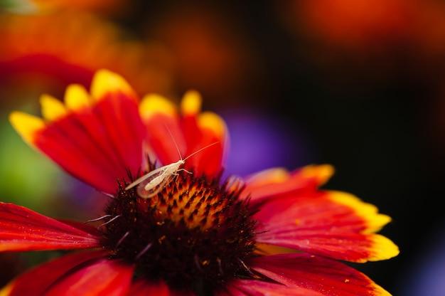 クサカゲロウは花に位置しています(gaillardia)